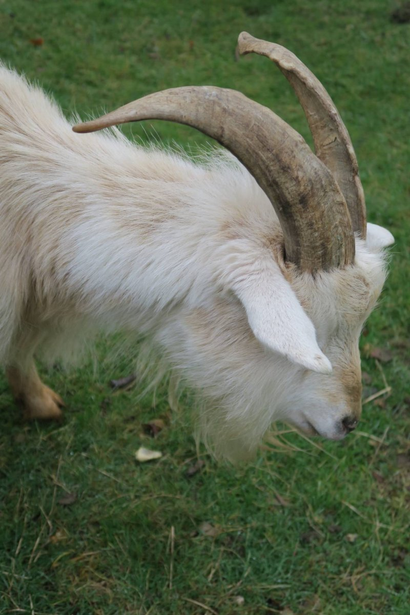 kent-buttercup-goat-sanctuary-coxheath-family-outing-day-out